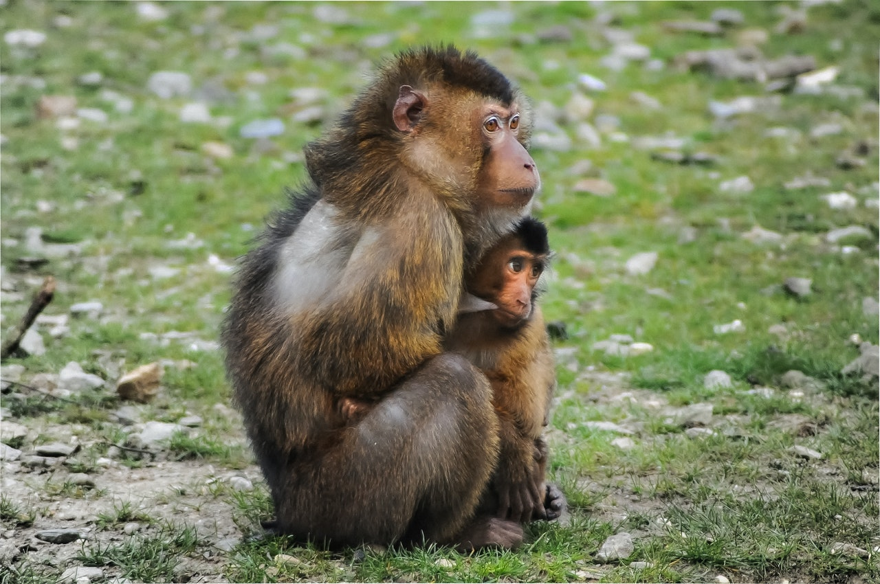 thar stump-tailed macaques